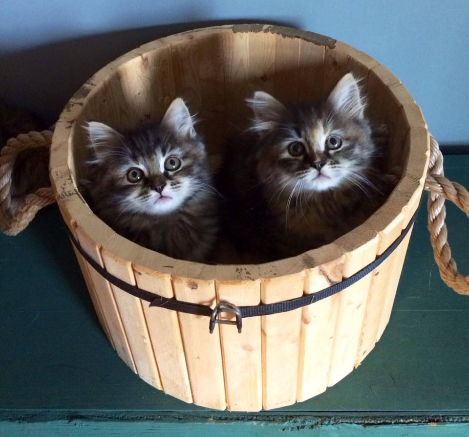 Siberian kittens in a barrel