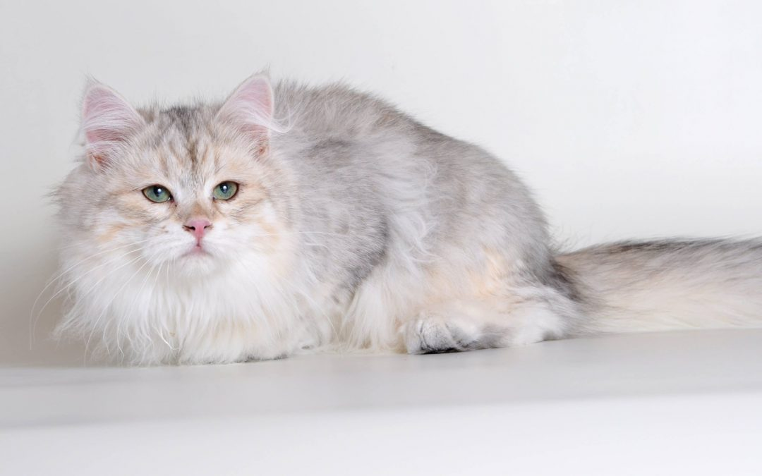 New Year with New Siberian Colors!  BiMetallic Siberians