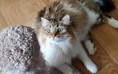 Meet Dmintri a beautiful Siberian cat