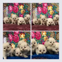 Available colorpoint females