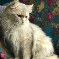 available silver torbie females